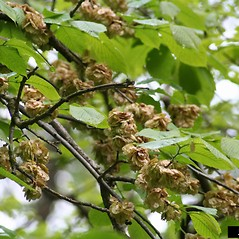 Fruits: Ulmus glabra. ~ By Norbert Frank. ~ Copyright © 2019 CC BY-NC 3.0. ~  ~ Bugwood - www.bugwood.org/