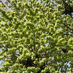 Fruits: Ulmus glabra. ~ By Robert Vid_ki. ~ Copyright © 2019 CC BY-NC 3.0. ~  ~ Bugwood - www.bugwood.org/