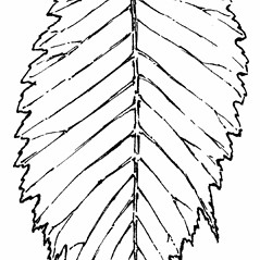 Leaves: Ulmus glabra. ~ By Gordon Morrison. ~ Copyright © 2019 New England Wild Flower Society. ~ Image Request, images[at]newenglandwild.org