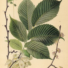 Leaves: Ulmus glabra. ~ By Zelimir Borzan. ~ Copyright © 2019 CC BY-NC 3.0. ~  ~ Bugwood - www.bugwood.org/