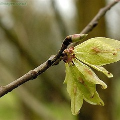 Winter buds: Ulmus glabra. ~ By John Crellin. ~ Copyright © 2019 © J.R. Crellin. ~ Floralimages www.floralimages.co.uk ~ Floral Images - www.floralimages.co.uk