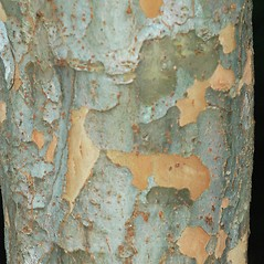 Bark: Ulmus parvifolia. ~ By Karan Rawlins. ~ Copyright © 2018 CC BY-NC 3.0. ~  ~ Bugwood - www.bugwood.org/