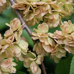 Fruits: Ulmus procera. ~ By Robert Vid_ki. ~ Copyright © 2018 CC BY-NC 3.0. ~  ~ Bugwood - www.bugwood.org/