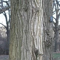 Bark: Ulmus pumila. ~ By Arieh Tal. ~ Copyright © 2020 Arieh Tal. ~ http://botphoto.com/ ~ Arieh Tal - botphoto.com