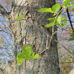 Bark: Ulmus pumila. ~ By Alexey Zinovjev. ~ Copyright © 2020. ~ webmaster[at]salicicola.com ~ Salicicola - www.salicicola.com/