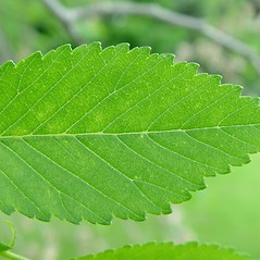 Leaves: Ulmus pumila. ~ By Arthur Haines. ~ Copyright © 2018. ~ arthurhaines[at]wildblue.net