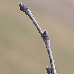 Winter buds: Ulmus rubra. ~ By Arieh Tal. ~ Copyright © 2018 Arieh Tal. ~ http://botphoto.com/ ~ Arieh Tal - botphoto.com