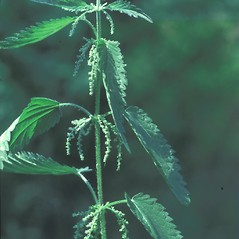 Plant form: Urtica dioica. ~ By Albert Bussewitz. ~ Copyright © 2020 New England Wild Flower Society. ~ Image Request, images[at]newenglandwild.org