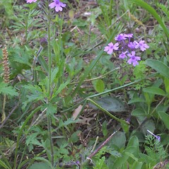 Plant form: Glandularia canadensis. ~ By Steven Baskauf. ~ Copyright © 2017 CC-BY-NC-SA. ~  ~ Bioimages - www.cas.vanderbilt.edu/bioimages/frame.htm