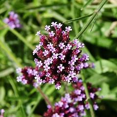 Flowers: Verbena bonariensis. ~ By Paul S. Drobot. ~ Copyright © 2019 Paul S. Drobot. ~ www.plantstogrow.com, www.plantstockphotos.com ~ Robert W. Freckmann Herbarium, U. of Wisconsin-Stevens Point