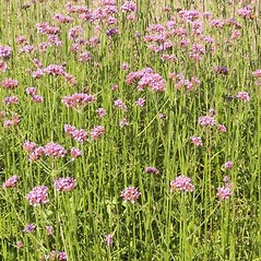 Plant form: Verbena bonariensis. ~ By Charles Brun. ~ Copyright © 2018. ~ brunc[at]wsu.edu ~ Pacific Northwest Plants - www.pnwplants.wsu.edu/