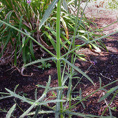 Stems: Verbena bonariensis. ~ By Gerry Carr. ~ Copyright © 2018 Gerry Carr. ~ gdcarr[at]comcast.net ~ Oregon Flora Image Project - www.botany.hawaii.edu/faculty/carr/ofp/ofp_index.htm