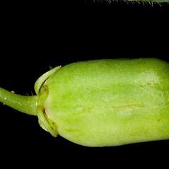 Fruits: Hybanthus concolor. ~ By John Gwaltney. ~ Copyright © 2018 John Gwaltney. ~ southeasternflora.com ~ Southeastern Flora - www.southeasternflora.com/
