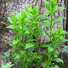Plant form: Hybanthus concolor. ~ By Janet Novak. ~ Copyright © 2020 Janet Novak. ~ Requests for image use not currently accepted by copyright holder ~ Connecticut Botanical Society - www.ct-botanical-society.org/