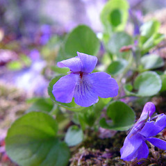 Flowers: Viola adunca. ~ By Arthur Haines. ~ Copyright © 2018. ~ arthurhaines[at]wildblue.net