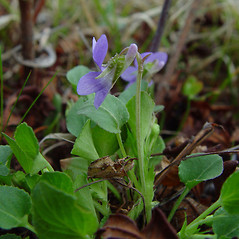 Plant form: Viola adunca. ~ By Arthur Haines. ~ Copyright © 2020. ~ arthurhaines[at]wildblue.net