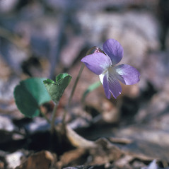 Flowers: Viola affinis. ~ By Frank Bramley. ~ Copyright © 2020 New England Wild Flower Society. ~ Image Request, images[at]newenglandwild.org