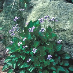 Plant form: Viola cucullata. ~ By John Lynch. ~ Copyright © 2018 New England Wild Flower Society. ~ Image Request, images[at]newenglandwild.org
