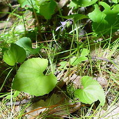 Leaves: Viola cucullata. ~ By Arthur Haines. ~ Copyright © 2018. ~ arthurhaines[at]wildblue.net