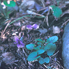 Plant form: Viola hirsutula. ~ By Lawrence Newcomb. ~ Copyright © 2019 New England Wild Flower Society. ~ Image Request, images[at]newenglandwild.org