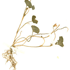 Plant form: Viola japonica. ~ By William and Linda Steere and the C.V. Starr Virtual Herbarium. ~ Copyright © 2018 William and Linda Steere and the C.V. Starr Virtual Herbarium. ~ Barbara Thiers, Director; bthiers[at]nybg.org ~ C.V. Starr Herbarium - NY Botanical Gardens