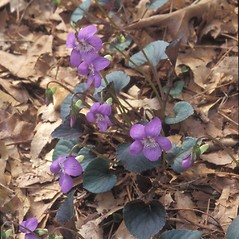 Plant form: Viola labradorica. ~ By Walt & Louiseann Pietrowicz. ~ Copyright © 2017 New England Wild Flower Society. ~ Image Request, images[at]newenglandwild.org