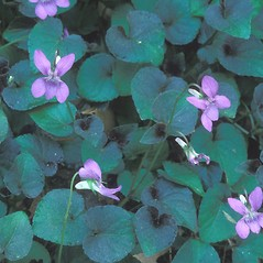 Leaves: Viola labradorica. ~ By Hal Horwitz. ~ Copyright © 2018 New England Wild Flower Society. ~ Image Request, images[at]newenglandwild.org