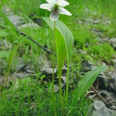 Plant form: Viola lanceolata. ~ By Glen Mittelhauser. ~ Copyright © 2018 Glen Mittelhauser. ~ www.mainenaturalhistory.org