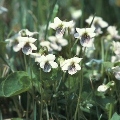 Flowers: Viola pallens. ~ By John Lynch. ~ Copyright © 2019 New England Wild Flower Society. ~ Image Request, images[at]newenglandwild.org
