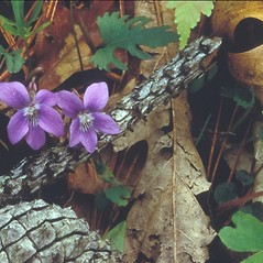 Flowers: Viola palmata. ~ By Walt & Louiseann Pietrowicz. ~ Copyright © 2018 New England Wild Flower Society. ~ Image Request, images[at]newenglandwild.org