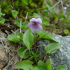 Plant form: Viola palustris. ~ By Arthur Haines. ~ Copyright © 2018. ~ arthurhaines[at]wildblue.net