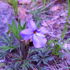 Flowers: Viola pedata. ~ By Arthur Haines. ~ Copyright © 2019. ~ arthurhaines[at]wildblue.net