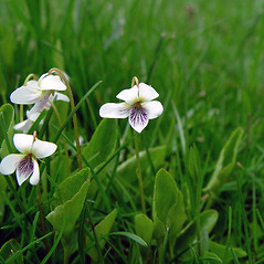 Flowers: Viola primulifolia. ~ By Arthur Haines. ~ Copyright © 2020. ~ arthurhaines[at]wildblue.net