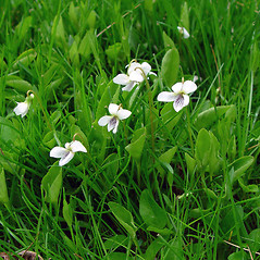 Plant form: Viola primulifolia. ~ By Arthur Haines. ~ Copyright © 2020. ~ arthurhaines[at]wildblue.net