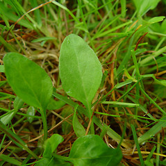 Leaves: Viola primulifolia. ~ By Arthur Haines. ~ Copyright © 2020. ~ arthurhaines[at]wildblue.net