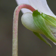 Stems: Viola primulifolia. ~ By Gerrit Davidse. ~ Copyright © 2018 CC BY-NC-SA 3.0. ~  ~ Tropicos, Missouri Botanical Garden - www.tropicos.org