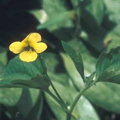 Flowers: Viola pubescens. ~ By Albert Bussewitz. ~ Copyright © 2019 New England Wild Flower Society. ~ Image Request, images[at]newenglandwild.org