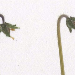 Fruits: Viola renifolia. ~ By CONN Herbarium. ~ Copyright © 2018 CONN Herbarium. ~ Requests for image use not currently accepted by copyright holder ~ U. of Connecticut Herbarium - bgbaseserver.eeb.uconn.edu/