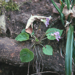 Plant form: Viola selkirkii. ~ By Arthur Haines. ~ Copyright © 2019. ~ arthurhaines[at]wildblue.net