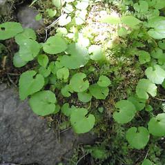 Leaves: Viola selkirkii. ~ By Curtis Bjork. ~ Copyright © 2020 Curtis Bjork. ~ crbjork[at]gmail.com ~ E-Flora BC - www.geog.ubc.ca/biodiversity/eflora/