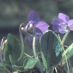 Flowers: Viola sororia. ~ By Albert Bussewitz. ~ Copyright © 2018 New England Wild Flower Society. ~ Image Request, images[at]newenglandwild.org