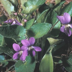 Flowers: Viola sororia. ~ By Frank Bramley. ~ Copyright © 2019 New England Wild Flower Society. ~ Image Request, images[at]newenglandwild.org