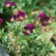 Flowers: Viola tricolor. ~ By Arthur Haines. ~ Copyright © 2020. ~ arthurhaines[at]wildblue.net