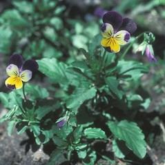 Plant form: Viola tricolor. ~ By Jean Baxter. ~ Copyright © 2020 New England Wild Flower Society. ~ Image Request, images[at]newenglandwild.org