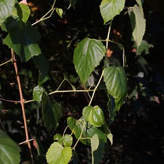 Plant form: Ampelopsis cordata. ~ By Steven Baskauf. ~ Copyright © 2018 CC-BY-NC-SA. ~  ~ Bioimages - www.cas.vanderbilt.edu/bioimages/frame.htm