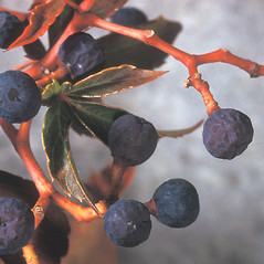 Fruits: Parthenocissus quinquefolia. ~ By Adelaide Pratt. ~ Copyright © 2019 New England Wild Flower Society. ~ Image Request, images[at]newenglandwild.org