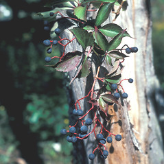 Fruits: Parthenocissus quinquefolia. ~ By John Lynch. ~ Copyright © 2019 New England Wild Flower Society. ~ Image Request, images[at]newenglandwild.org
