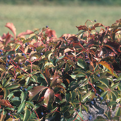Plant form: Parthenocissus quinquefolia. ~ By Frank Bramley. ~ Copyright © 2017 New England Wild Flower Society. ~ Image Request, images[at]newenglandwild.org