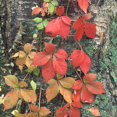 Plant form: Parthenocissus quinquefolia. ~ By William Cullina. ~ Copyright © 2019 William Cullina. ~ bill[at]williamcullina.com