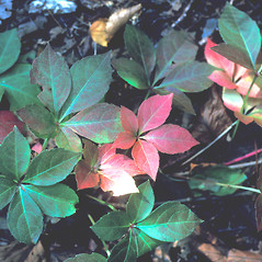 Leaves: Parthenocissus quinquefolia. ~ By Bob O'Shaughnessy. ~ Copyright © 2019 New England Wild Flower Society. ~ Image Request, images[at]newenglandwild.org